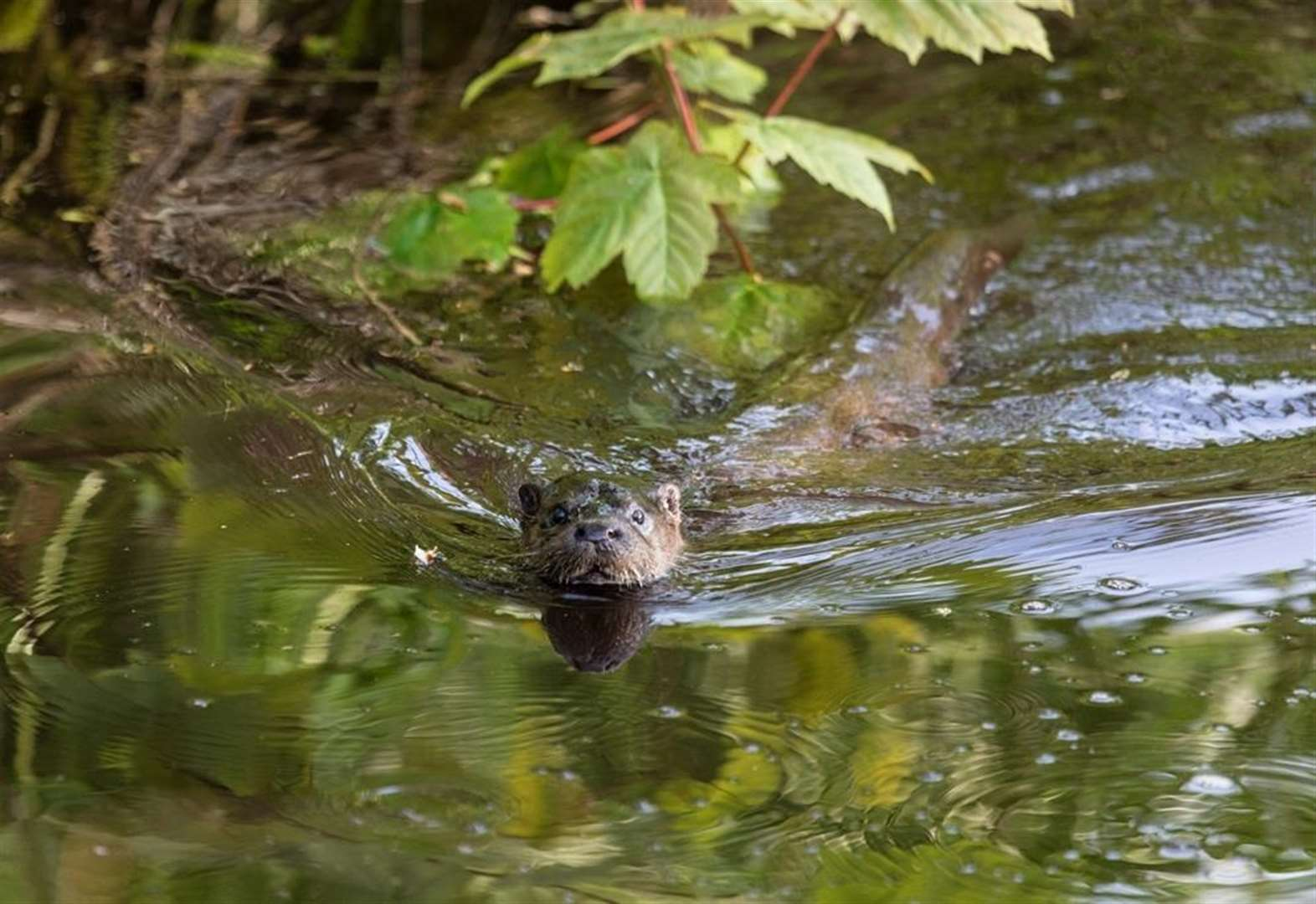Oxburgh otter resurgence is a good sign for wildlife