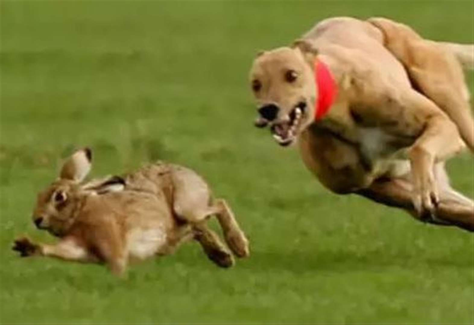Get tough on illegal hare coursing, police are urged