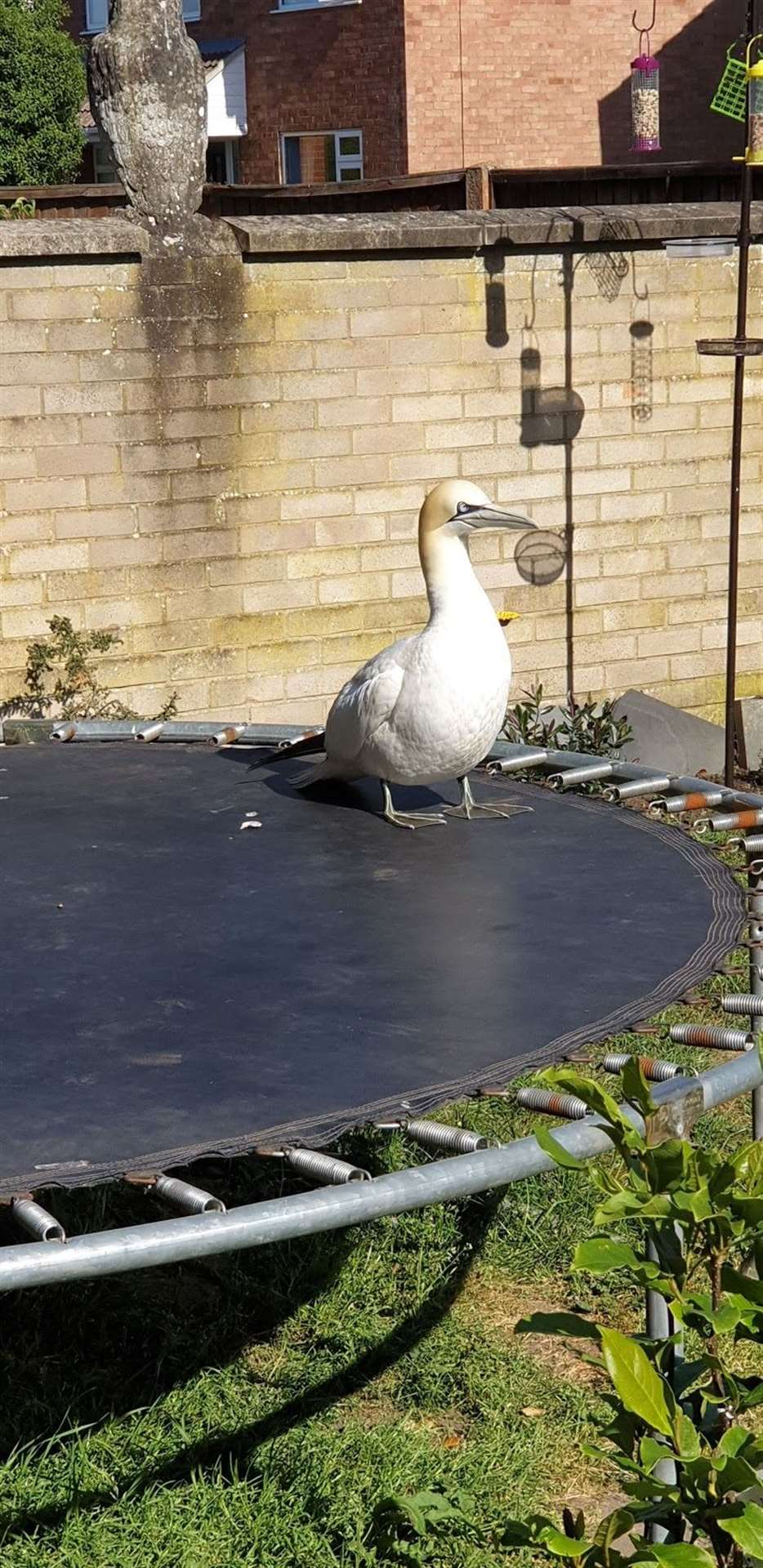 Dawn Austin was surprised to find this gannet on her trampoline. Picture: SUBMITTED