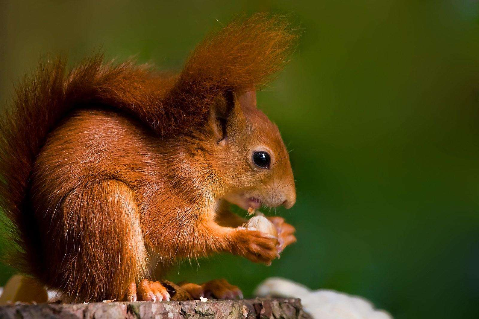 A red squirrel. Picture: Pensthorpe Natural Park. (5970099)