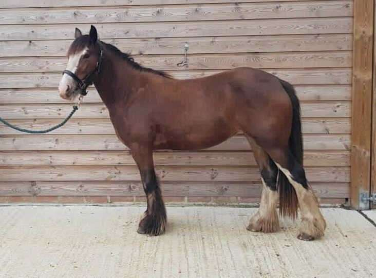 Hallie - a two-year-old Welsh type cob mare - is at a RSPCA centre in Kent but there are plenty of animals at rescue centres in West Norfolk waiting for adoption. (42476808)