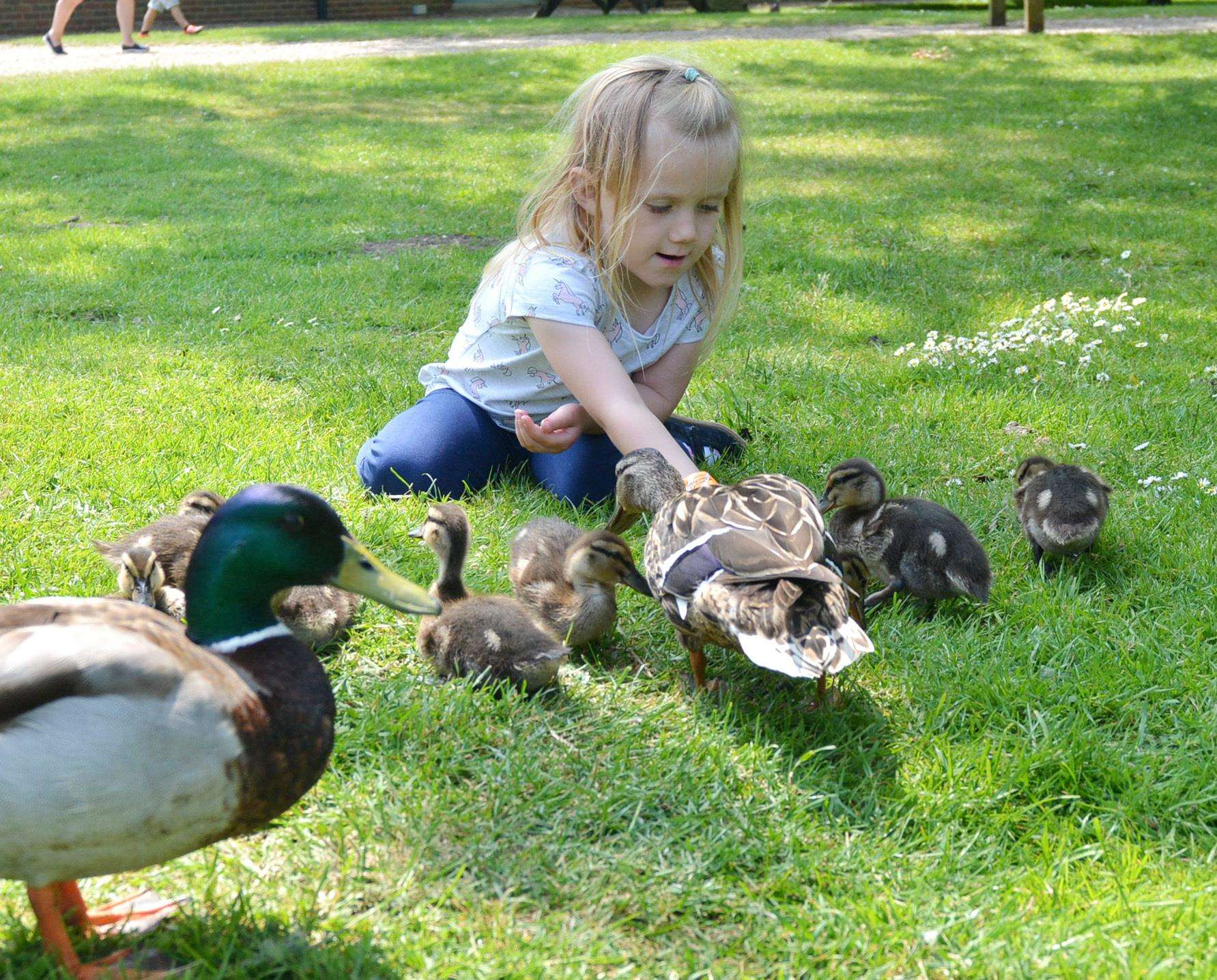 Three-year-old Caitlyn Cross gets to stroke some friendly ducklings (2265903)