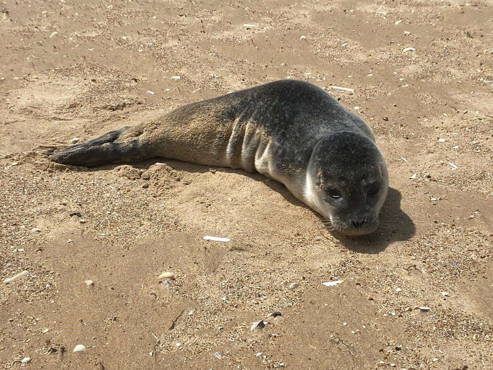 This seal was one of two rescued by the British Divers Marine Life Rescue on Sunday. One was found at Old Hunstanton beach while the other was found in Essex. Both were taken to the East Winch RSPCA centre. Picture: BDMLR Suffolk & Norfolk