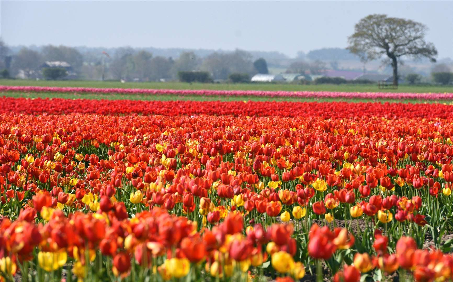 A Belmont Nurseries' field of tulips at Gayton Road. East Winch