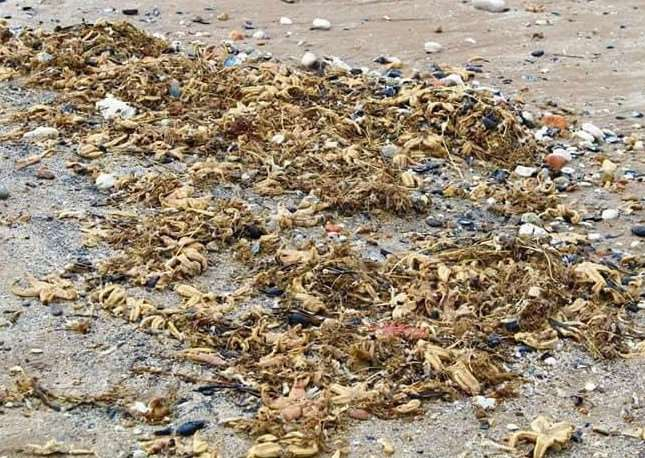Thousands of starfish wash up on Hunstanton beach. By Melissa Ibbitson from Lynn