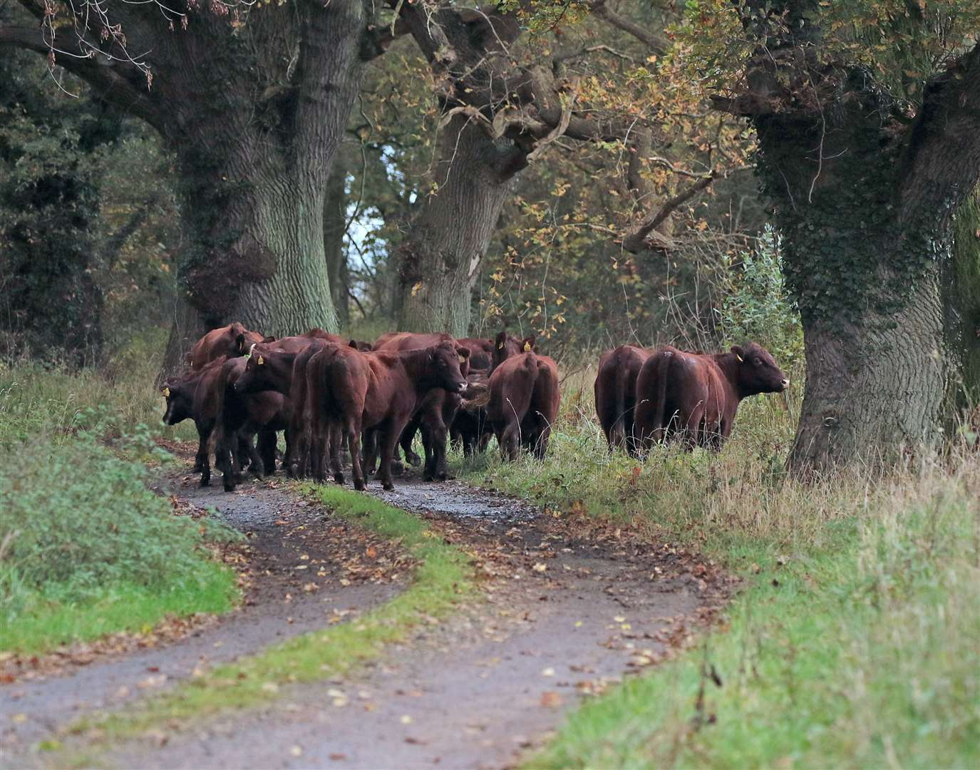 Officials hope the rare breed cattle will replicate how animals moved across the land thousands of years ago (43101584)