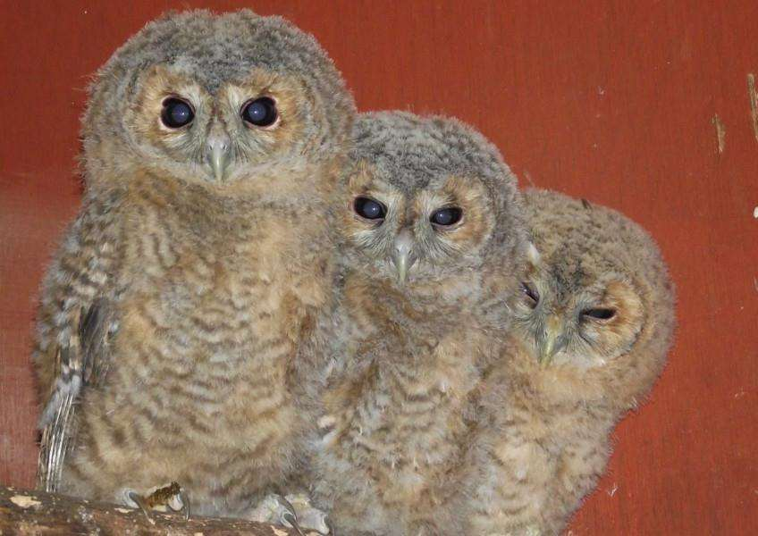 Trio of Tawny owls at RSPCA East Winch. Photo: SUBMITTED.