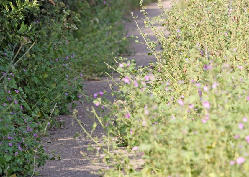 DM16135964a.jpg Overgrown cycle path along Bognor Road, Chichester. Photo by Derek Martin
