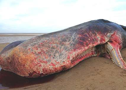 Whale on Old Hunstanton Beach