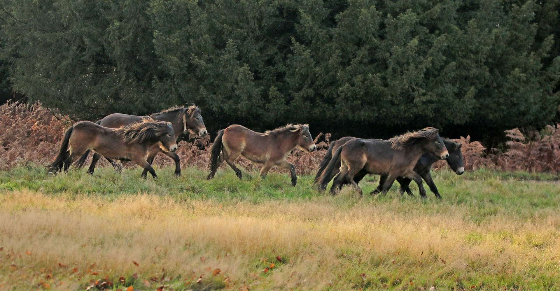 Exmoor ponies are settling into the Wild Ken Hill land (43101592)