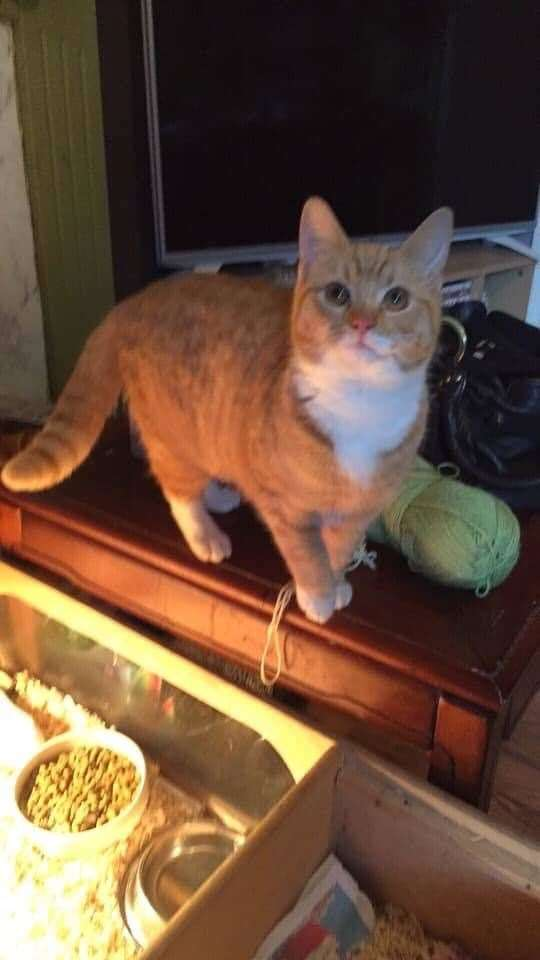 Simba, a small ginger male cat, is missing from East Winch. Picture: SUBMITTED. (25500763)