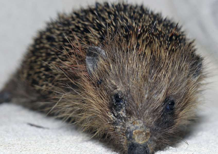 Hedgehog Awareness Month at Wimbotsham'Baby Hedgehog